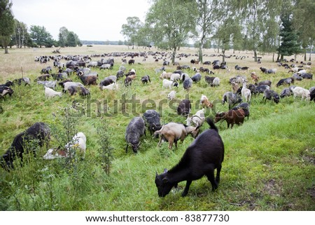 flock of sheep and coat - stock photo