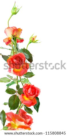floral vertical frame of red roses isolated on white background - stock photo