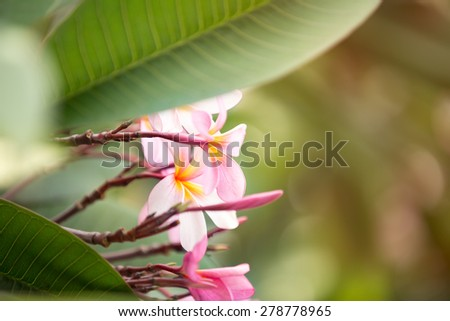 Flower background, tropical pink frangipani - stock photo