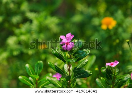 Flower,Cape Periwinkle, Bringht Eye, Indian Periwinkle - stock photo