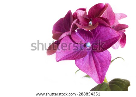 Flower Hydrangea Burgundy pink color on a white background. - stock photo