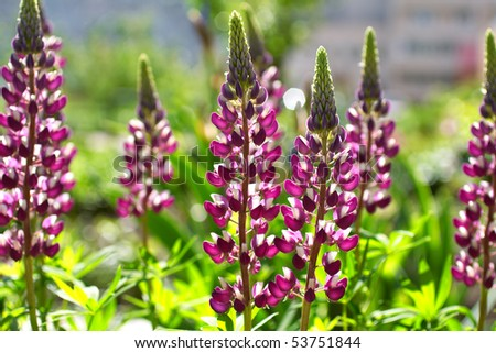 Flower lupine, close up