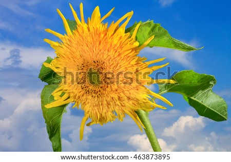 flower picture decorative sunflowers on a blue sky background