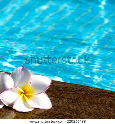 flower Plumeria  on swimming pool