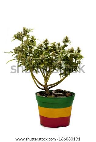 flowering Cannabis plant bonsai - stock photo