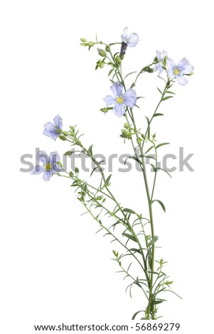 Flowering flax with buds isolated on white background - stock photo