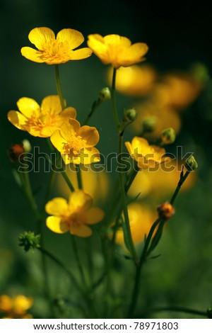 Flowering Ranunculus - buttercups, spearworts, water crowfoots - stock photo