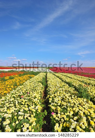 Flowers are grown for export. Israeli spring. Kibbutz fields with bright flowers Ranunculus. - stock photo