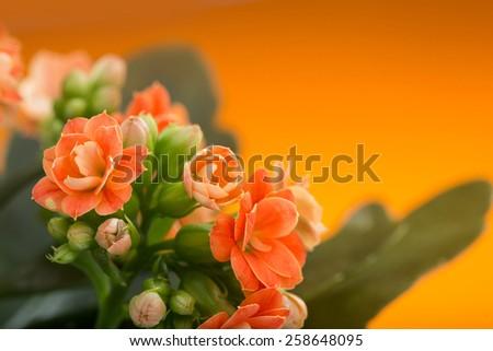 flowers of Kalanchoe. on a orange background. - stock photo
