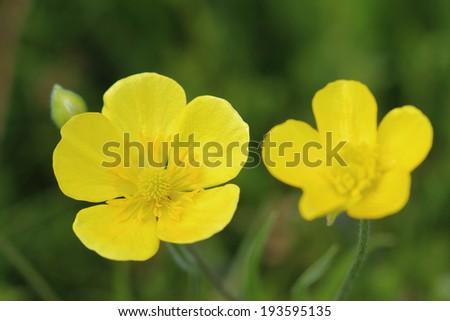 Flowers of meadow buttercup (Ranunculus acris)  - stock photo