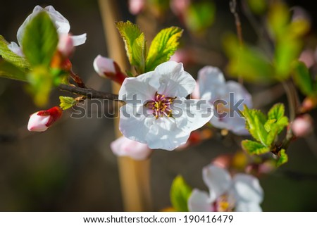 Flowers of the cherry blossoms on a spring day. Selective focus with shallow depth of field. - stock photo