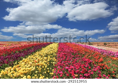 Flowers planted with broad bands of colors - red  and yellow. Field of multi-colored decorative buttercups Ranunculus Bloomingdale - stock photo
