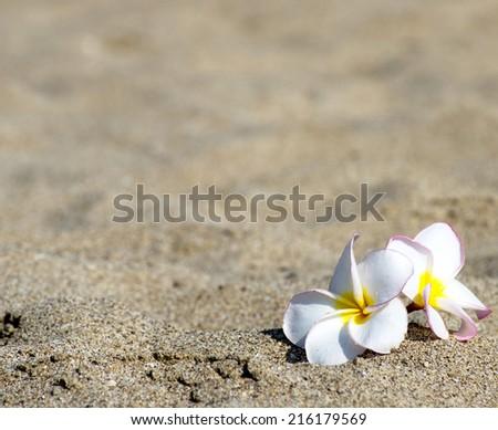 flowers Plumeria - stock photo