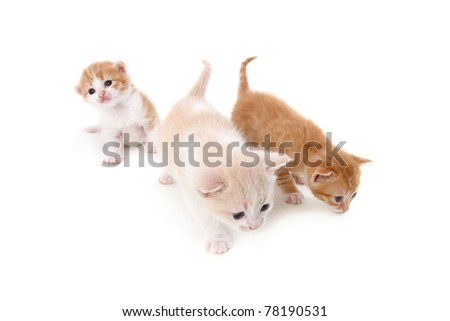 fold small purebred kittens. isolated