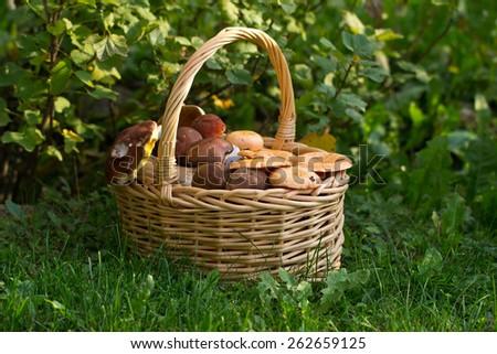 Forest mushrooms/Fresh cut forest mushrooms closeup. - stock photo