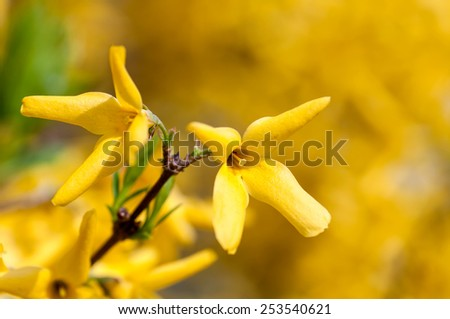 Forsythia Bush blooming yellow flowers in spring - stock photo