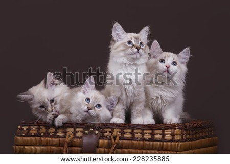 Four small Siberian Neva Masquerade kittens on a dark brown background. Cats sitting on a basket. - stock photo