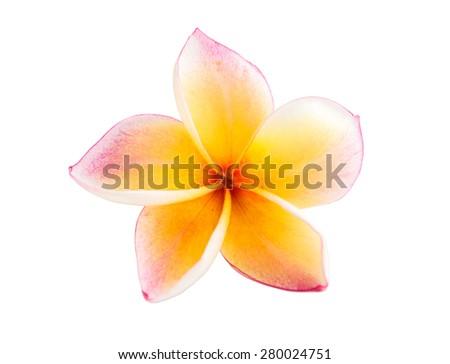 Frangipani Plumeria flower  - stock photo