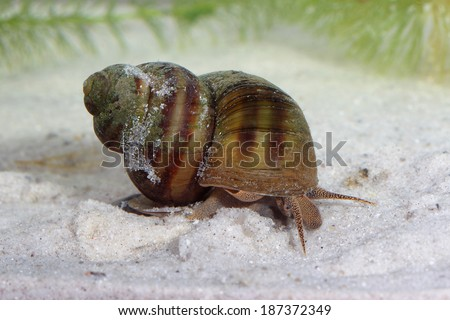Frashwater snail (Bithynia) on ponds bottom. Macro - stock photo