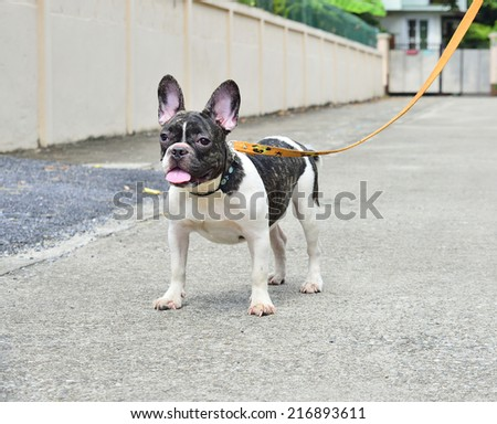 French Bulldog  in the street  - stock photo