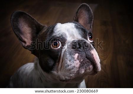 French bulldog portrait in dark room - stock photo