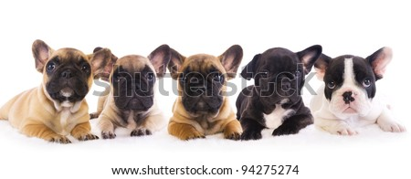 5 French Bulldog puppies in a row isolated on white - stock photo