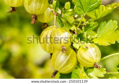 Fresh and ripe organic gooseberries growing in the garden - stock photo