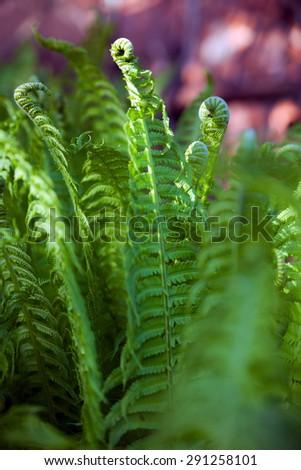 Fresh fern leaves in   garden.  - stock photo