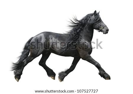 Friesian horse isolated on white