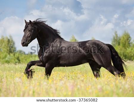 friesian stallion gallop in field - stock photo