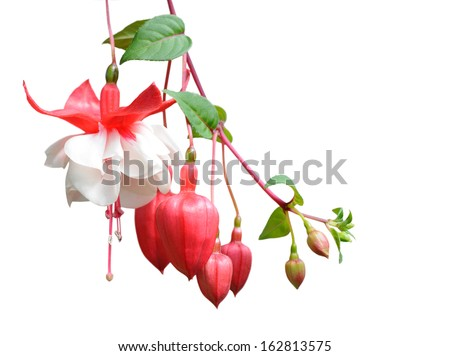 fuchsia lena flower isolated on white - stock photo
