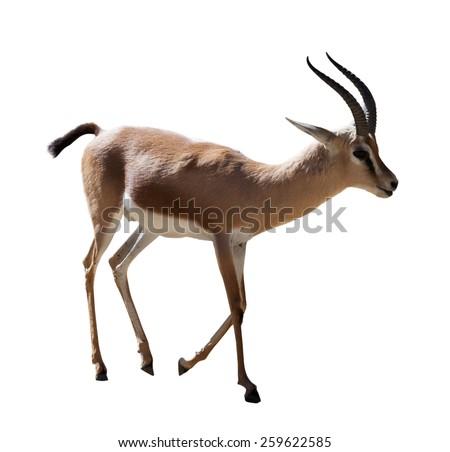 full length of Dorcas gazelle   on white - stock photo