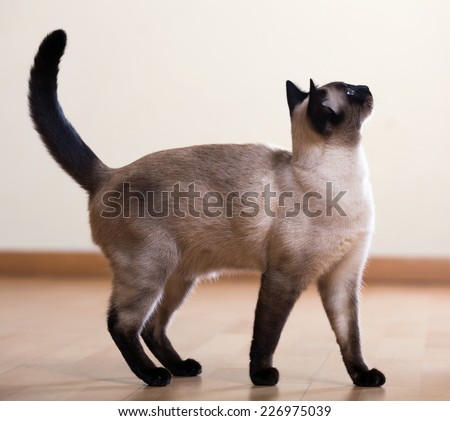 full length shot of Standing young adult siamese cat   - stock photo