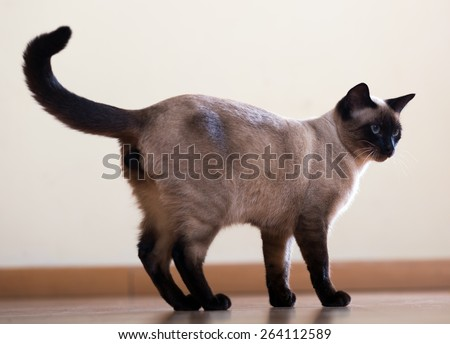 full length shot of Standing young adult siamese cat on wooden floor indoor