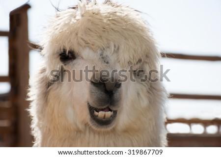 funny alpaca smile and teeth; white llama close-up  - stock photo