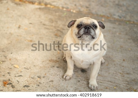 (Funny face of pug dog.)Fawn pug dog sitting on concrete road. - stock photo
