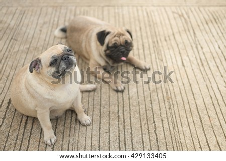 (Funny face of pug dog.)Male pug dog sitting in front of female pug dog on concrete road.