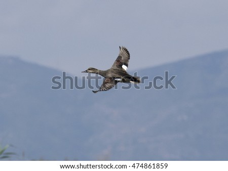 Gadwall flying in the sky