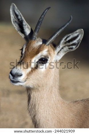gazella dorcas - stock photo