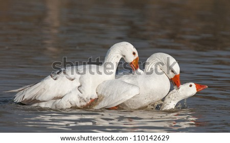 3 Geese - stock photo