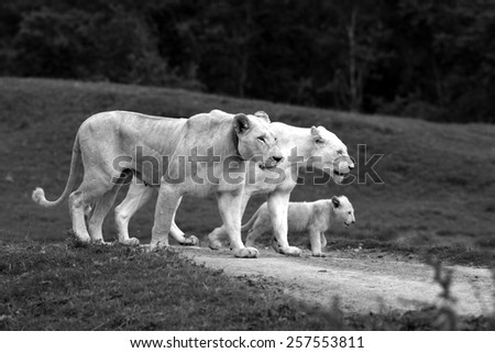 3 generations of white lions in this special photo. mother daughter and grand daughter all walking with the same foot forward. South Africa - stock photo