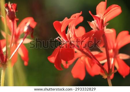 geranium flower .macro - stock photo