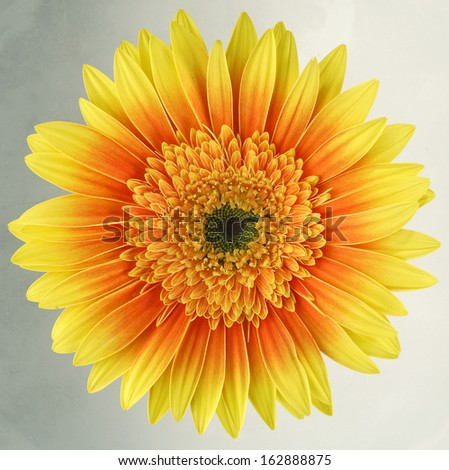 Gerbera daisy isolated / macro