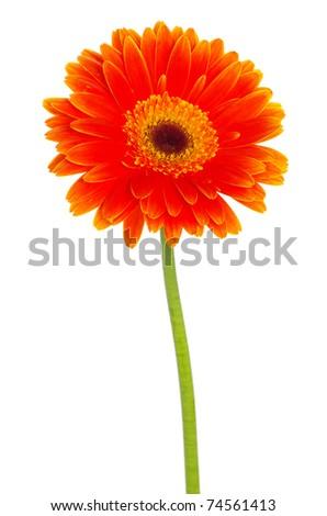 gerbera flower closeup on white background - stock photo