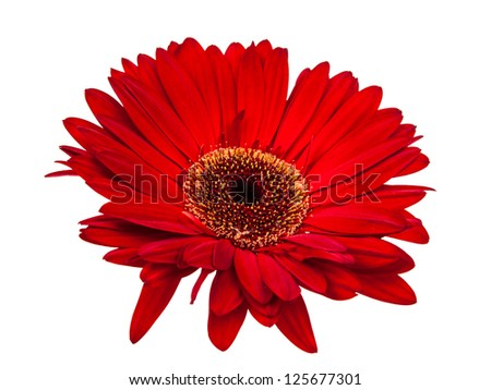 gerbera isolated on a white background