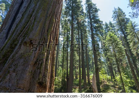 giant big Red Wood tree in Calaveras big trees state national park in California, US - stock photo