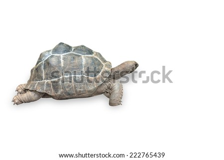 giant tortoise isolated on white background with clipping path - stock photo