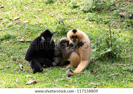 Gibbon family sitting on the grass