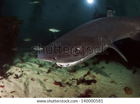 7 gill sharks patrolling the kelp forests of California