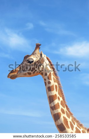 Giraffe over blue sky - stock photo